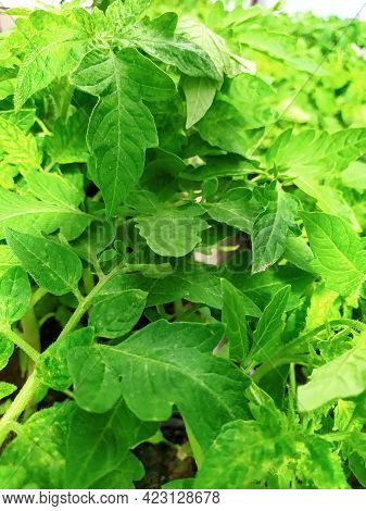 Background Of Healthy Green Tomato Leaves In The Greenhouse