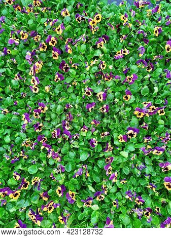 Hybrid Pansies Or Tricolor Viola Pansies. Garden Pansies With Purple, White And Yellow Petals