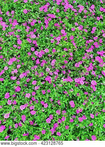 Carpet Is Made Of A Beautiful Dark Pink Petunia. Top View