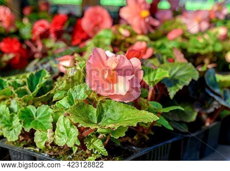 Begonia Seedlings, Blooming With Beautiful Flowers Planted In Flower Cells, Are Sold In The Garden S
