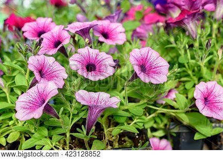Close-up Of Petunia Flower Seedlings In The Garden Center