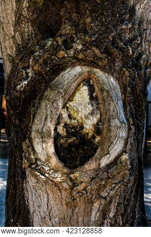 Close-up Of Tree Hollow Formed On Trunk Of Poplar Resembling A Woman's Womb
