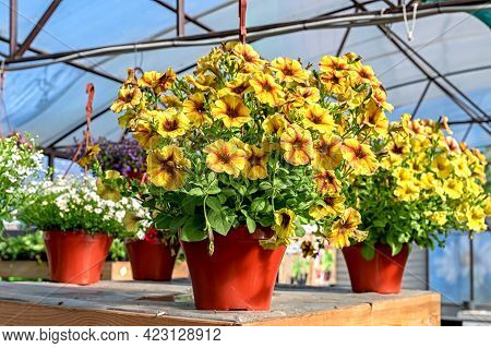 Close-up Of A Pot Of Yellow Petunia Flowers Standing On A Counter In A Garden Store
