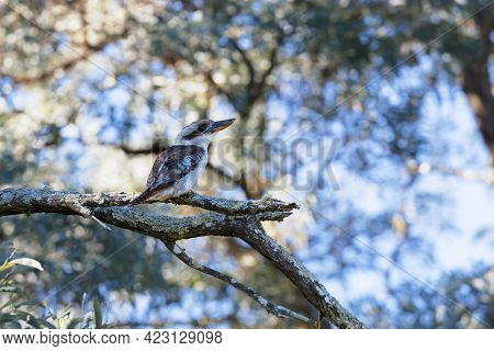 Photograph Of An Australian Kookaburra Sitting On A Tree Branch In The Australian Outback