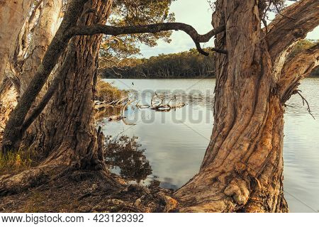 Photograph Of Water Birds Sitting On Tree Branches In The Water At Avoca Lagoon On The Central Coast