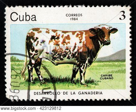 Cuba - Circa 1984: Stamp Printed In Cuba Showing Grazing Cow. Cow Grasing On Pasture. Cow Eating Gre