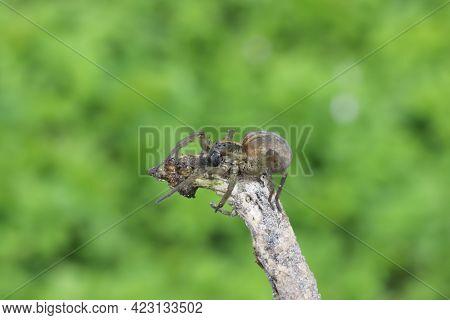 A Beautiful Spider Lurking On A Branch. Desktop Wallpaper.