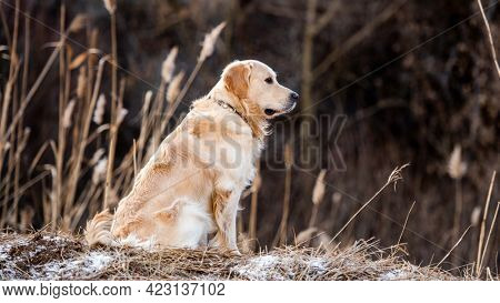 Beautiful portrait of golden retriever dog sitting outdoors in early spring time with blurred background and looking back. Cute doggy labrador at the nature outside