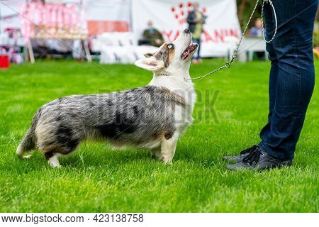 Adorable Grey And White Cardigan Welsh Corgi On Leash Looks At Owner Taking Part In Dog Show In Gree