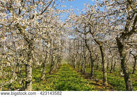 Plantation of Cherry trees in full bloom at Altes Land region, Lowr Saxony, Germany