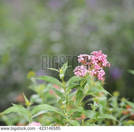 West Indian Lantana, Yellow Pink Flower Lantana Camara, Verbenaceae Blooming In Garden On Blurred Of
