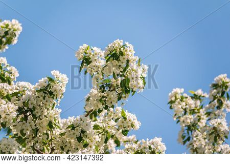 Apple Tree Branches With White Flowers On A Background Of Blue Clear Sky. A Fluffy Branches Of Bloom