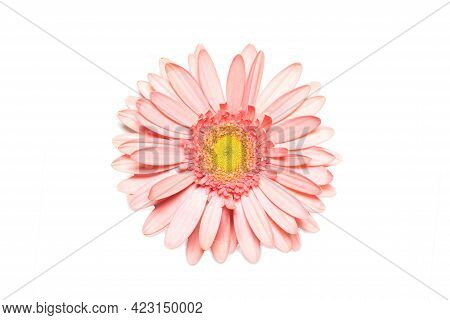 Pink Gerbera Flower On White Isolated Background. Element For Design