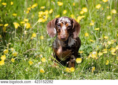 Dogs dachshunds puppy merle colors. Cute small doggy on grass