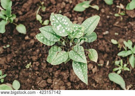 Tropical Green Leaves With White Carpet Earth Spots As A Background. Groundcover Plant With Spotted