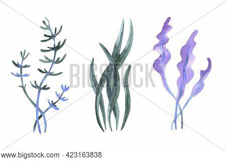 Set Of Watercolor Seaweed. Watercolor Algae Hand Drawn Illustration, Isolated On White