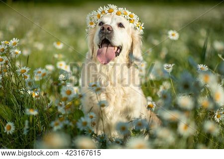 Labrador Sitting With A Wreath Of Flowers In Daisies. Dog In Nature. High Quality Photo