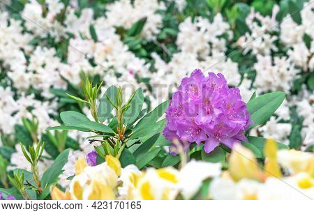 Pacific Rhododendron (rhododendron Macrophyllum) Is A Large-leaved Species Of Rhododendron Native To