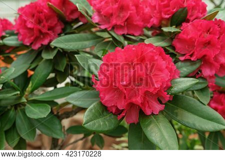 Pacific Red Rhododendron (rhododendron Macrophyllum) Is A Large-leaved Species Of Rhododendron Nativ