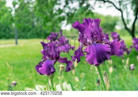 Purple Iris Flowers. Blooming Irises In The Summer Garden.