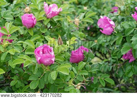 Rose Hip Flowers. Wild Rose. Rose Hip During Flowering.