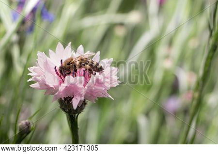 A Honey Bee Collects Nectar, Pollen From A Pink Cornflower Flower, Space For Text. Disappearance Of