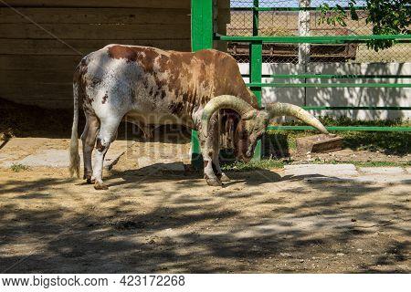 Ankole Watusi Cattle  (bos Taurus Macroceros) In Farm