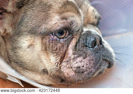 Injured Dog Eye With Stitches On Lower Eyelid On Merle French Bulldog With Protective Cone