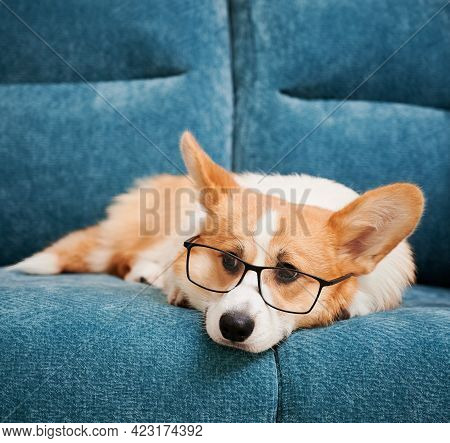 Close Up Of Beautiful Dog In Glasses Resting On Blue Comfortable Couch. Cute Welsh Corgi In Eyeglass