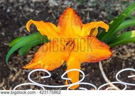 A Primal Scream Daylily Blooming For The Very First Time