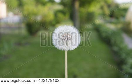 Dandelion White With Seed Ripe Dandelion . Natural White Dandelion On Green Background