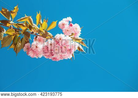 Amazing Pink Cherry Blossoms On The Sakura Tree In A Blue Sky. Place For Text.