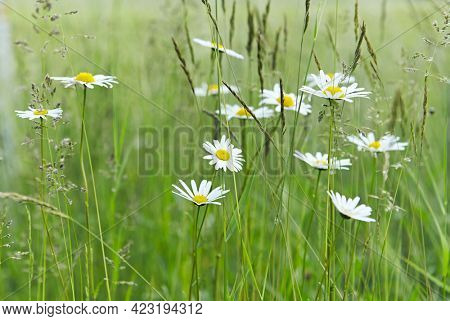 Daisy Flowers in a meadow. Close- up.