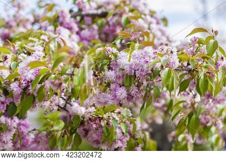 In Spring, Cherry Blossoms And Pink Flowers Bloom. Prunus Serrulata 'kanzan' - Japanese Cherry In Fu