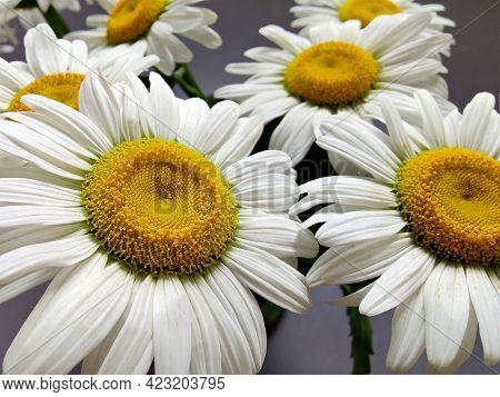 Daisy Flowers In The Vase - Bellis Perennis, Leucanthemum Vulgare - Ox-eye Daisy, Oxeye Daisy, Dog D