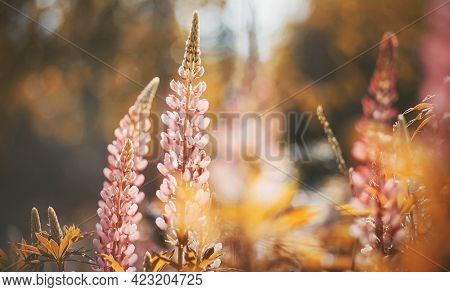 Wild Beautiful Fragrant Pink Lupine Flowers Bloom In The Field, Illuminated By The Sunlight On A Sum