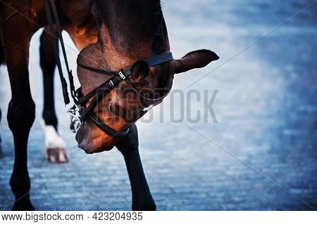 A Beautiful, Elegant Bay Horse With A Bridle On Its Muzzle Tilted Its Head, Standing Its Hooves On T