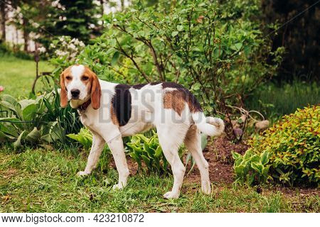 Estonian Hound Against The Background Of Grass And Flowers On A Sunny Day.
