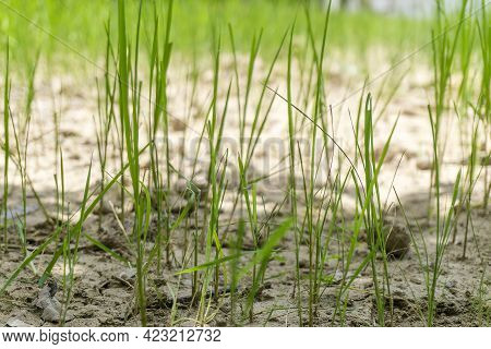 Rice Plant Rice Fields Plantation Farm An Organic Rice Farm And Agriculture. Young Seedling Growing
