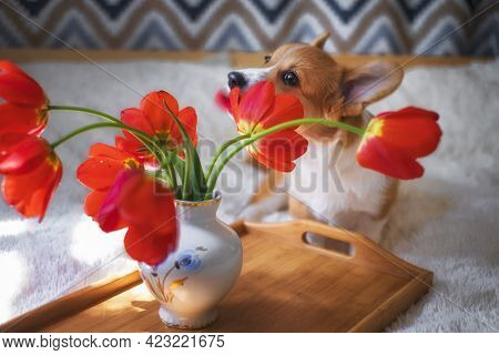 Small, Red Welsh Corgi Pembroke Puppy On A Bed For Flowers With Tulips, As A Gift
