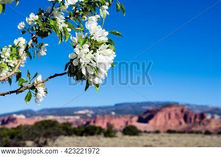 Apple Tree Blooming In Utah Desert - Torrey, Utah, Usa
