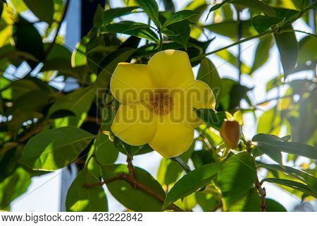 Brazilian Flora Plants Bloomed In A Residential Garden. Group Of Shrub And Strong-smelling Herbs, Wh