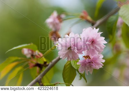 Sakura. Cherry Blossom In Springtime. Beautiful Pink Flowers. Floral Spring Background. Japanese Che