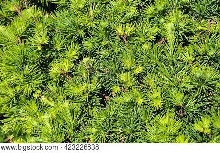 Dwarf Alberta Spruce (picea Glauca) - Needles Texture. Evergreen Perennial Coniferous Plant Used As
