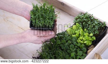 Mixed Micro Greens In Growing Trays In A White Wooden Delivery Box. Womens Hands Put The Tray With M