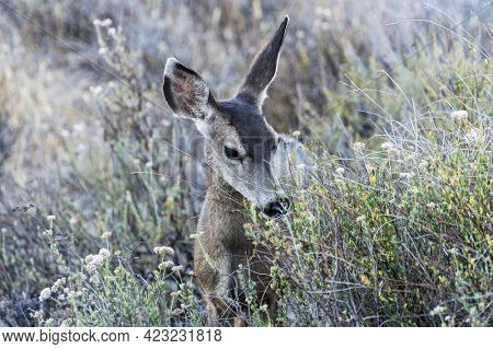 Young Mule Deer eating wild flowers at Rocky Peak Park in the Santa Susana Mountains near Los Angeles and Simi Valley, California.