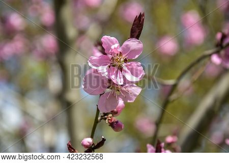 Pink Flowers On Peach Tree. Close-up. Spring Orchard. Selective Focus.