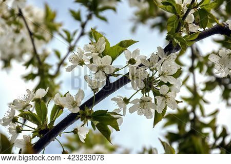 Abstract Pattern Of Branches Of Flowering Cherry Tree On Cloudy Sky Background. Spring Orchard. Sele