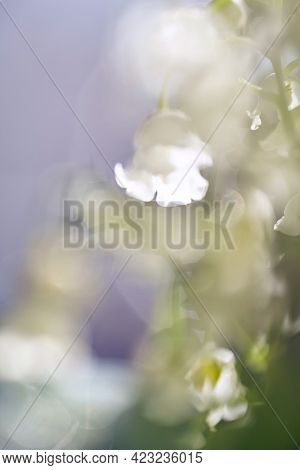 Lily Of The Valley Flowers With Raindrops Flowing Down The Leaves And Flowers. Soft Focus