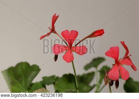 Flower Of The Pelargonium Species Pelargonium Salmoneum